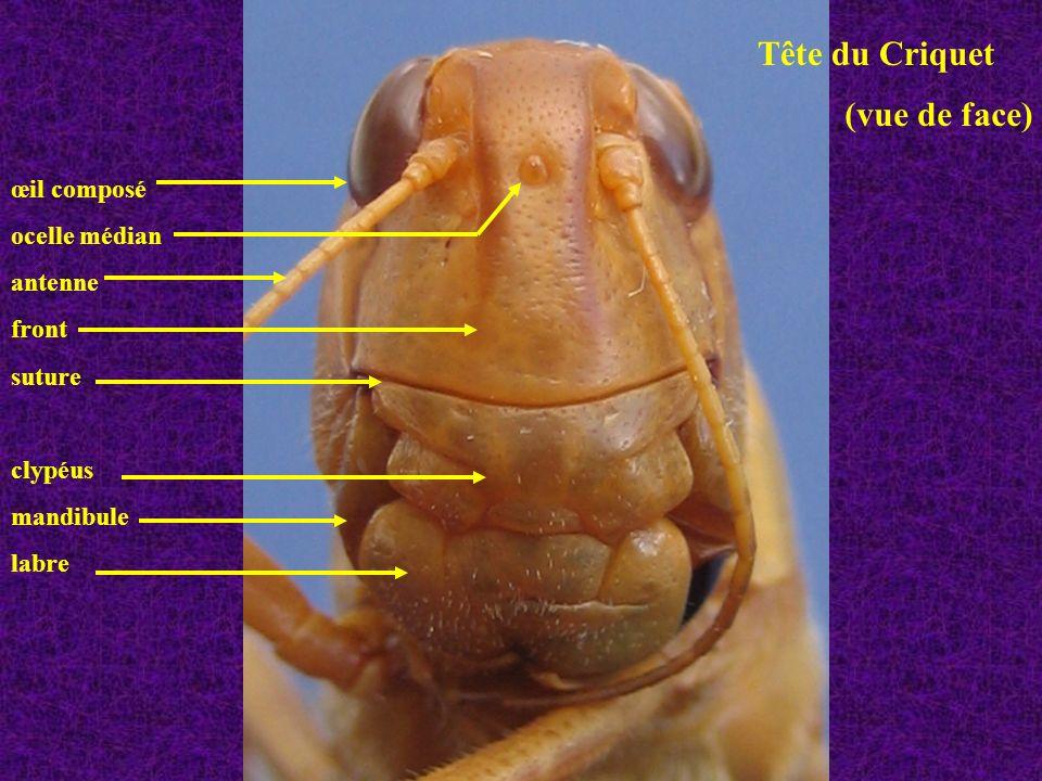 Vue de détails à la limite thorax abdomen (vue latérale gauche) pleurite (2 sclérites + suture oblique) stigmate métathoracique tergite sternite tympan (sur premier métamère abdominal)