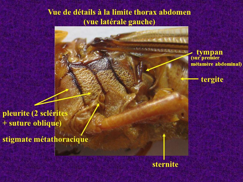 Stigmates métathoracique et mésothoracique (caché par le pronotum dégagé ici) Détails thorax ( Vue latérale droite)