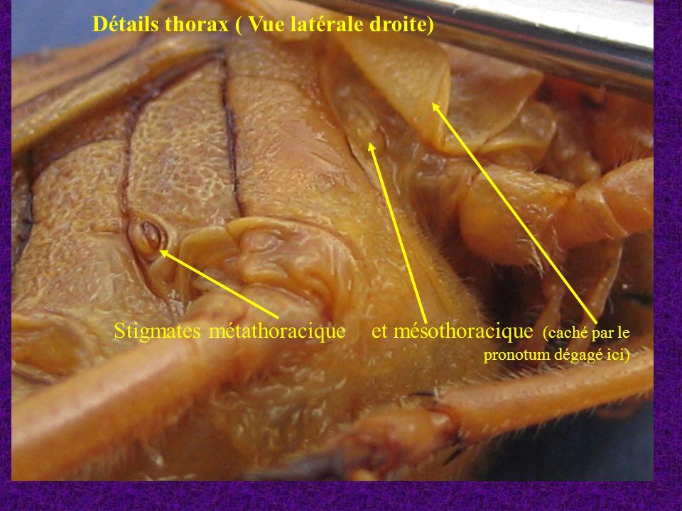 Patte métathoracique droite (vue externe) Hanche Trochanter Cuisse « fémur » Jambe « tibia » tarse