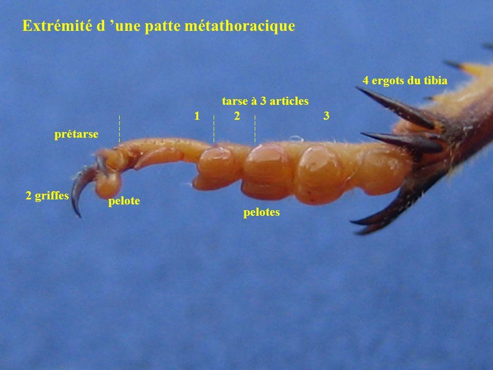 Aile mésothoracique (D) Aile métathoracique (D) VANUS REMIGIUM VANUS REMIGIUM Les ailes du Criquet