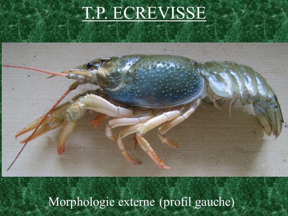 T.P. ECREVISSE Morphologie externe (profil gauche)