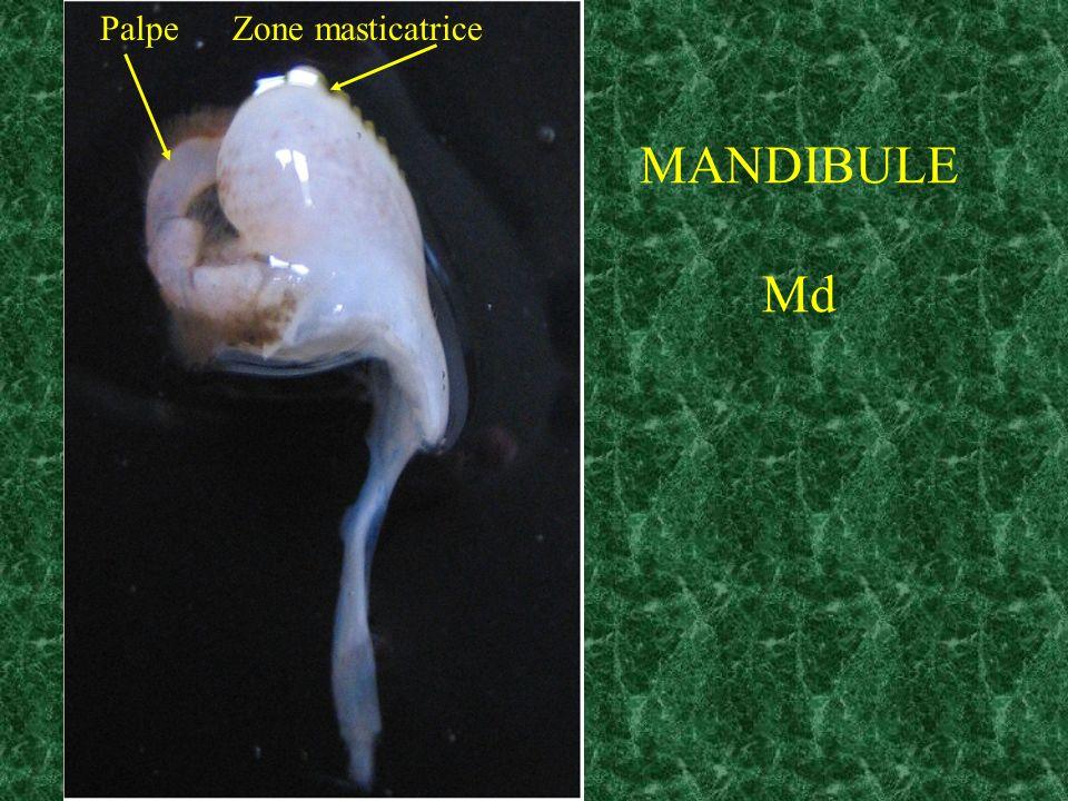 MANDIBULE Md Palpe Zone masticatrice