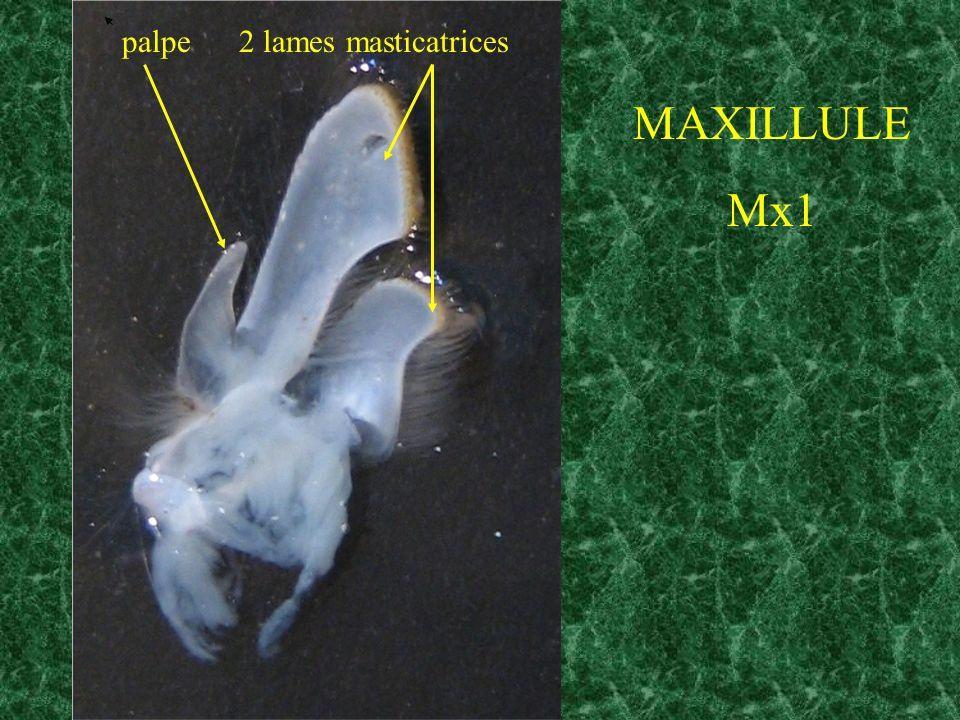 MAXILLULE Mx1 palpe 2 lames masticatrices