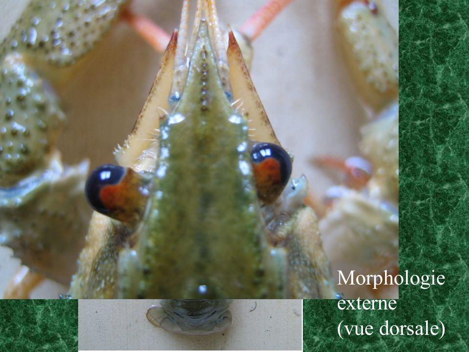MAXILLE Mx2 Palpe 4 lames masticatrices base scaphognathite (ventilation branchiale)