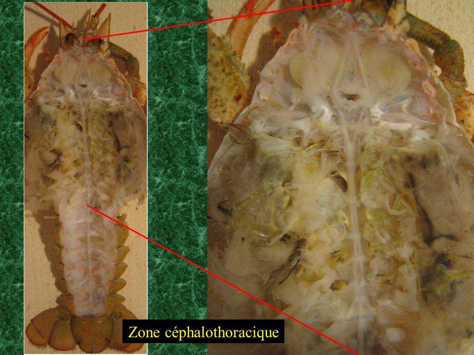 Zone céphalothoracique