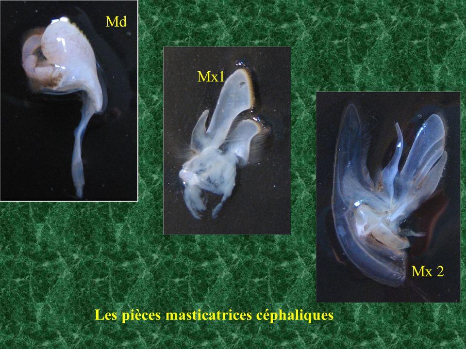 Les pièces masticatrices céphaliques Mx 2 Mx1 Md