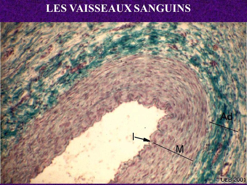 Lames élastiques fenêtrées de la média d une artère élastique Lumière du vaisseau Intima (endothélium) Limitante élastique interne Média musculaire Limitante élastique externe Adventice (conjonctif + irrigation )