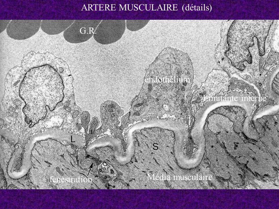 G.R. endothélium Limitante interne Média musculaire fenestration ARTERE MUSCULAIRE (détails)