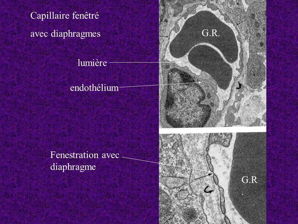 Capillaire fenêtré avec diaphragmes lumière endothélium G.R. Fenestration avec diaphragme G.R.