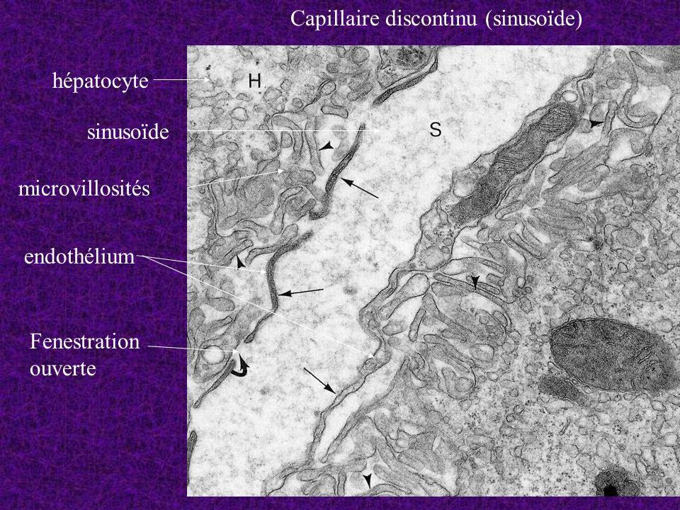 Capillaire discontinu (sinusoïde) hépatocyte sinusoïde Fenestration ouverte microvillosités endothélium