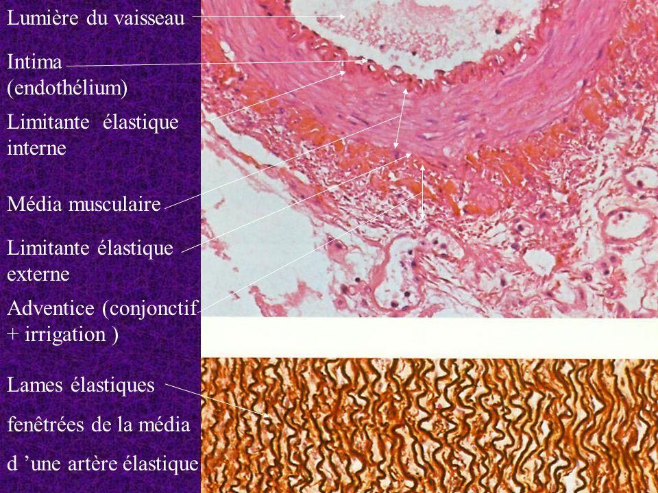 Lames élastiques fenêtrées de la média d une artère élastique Lumière du vaisseau Intima (endothélium) Limitante élastique interne Média musculaire Li