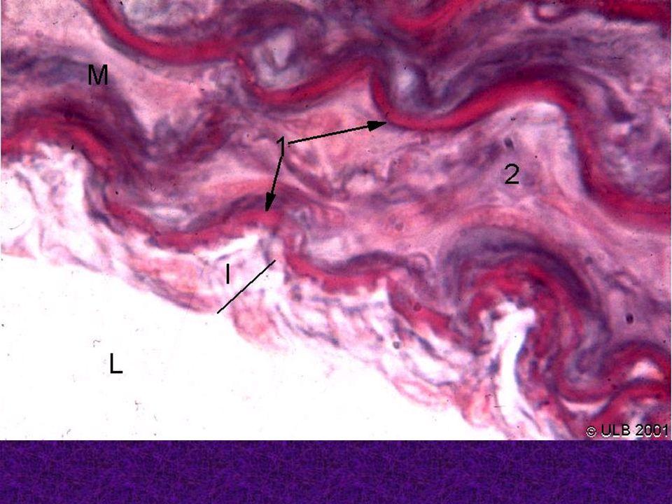 Capillaire continu (au niveau musculaire) Cellule endothéliale sécrétrice Lumière du capillaire Appareil de golgi Lame basale Jonction serrée transcytose