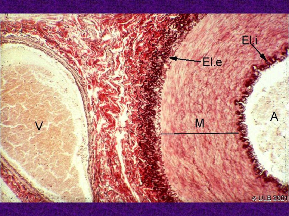 Capillaire continu (barrière hémato-encéphalique) Complexes jonctionnels neurone péricyte