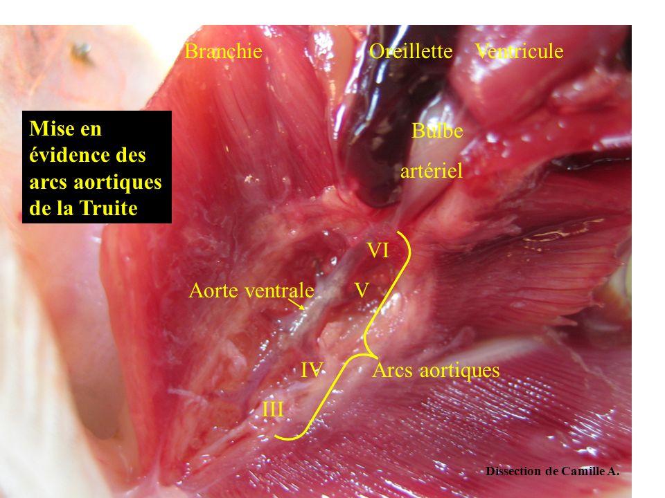 Dissection de Camille A. Branchie Oreillette Ventricule Bulbe artériel VI Aorte ventrale V IV Arcs aortiques III Mise en évidence des arcs aortiques d