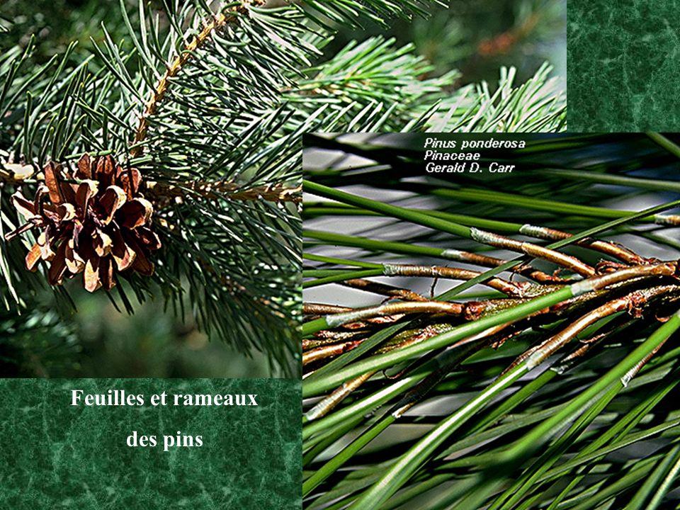 Feuilles et rameaux des pins