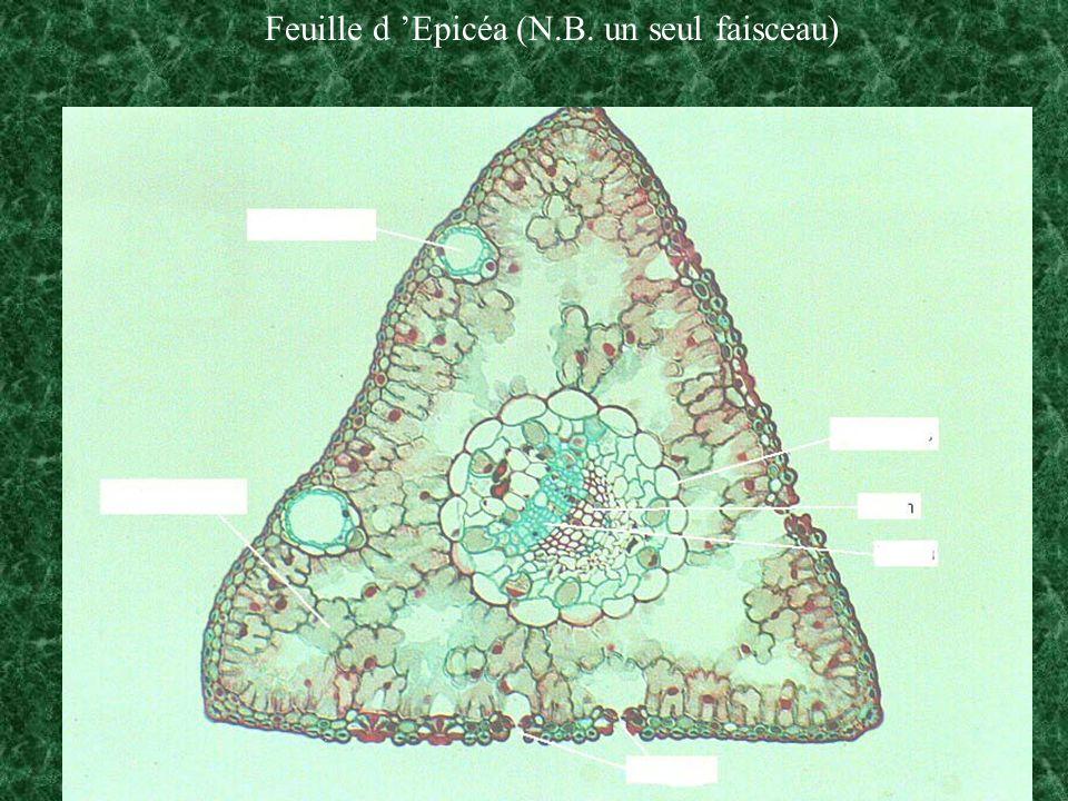 Feuille d Epicéa (N.B. un seul faisceau)