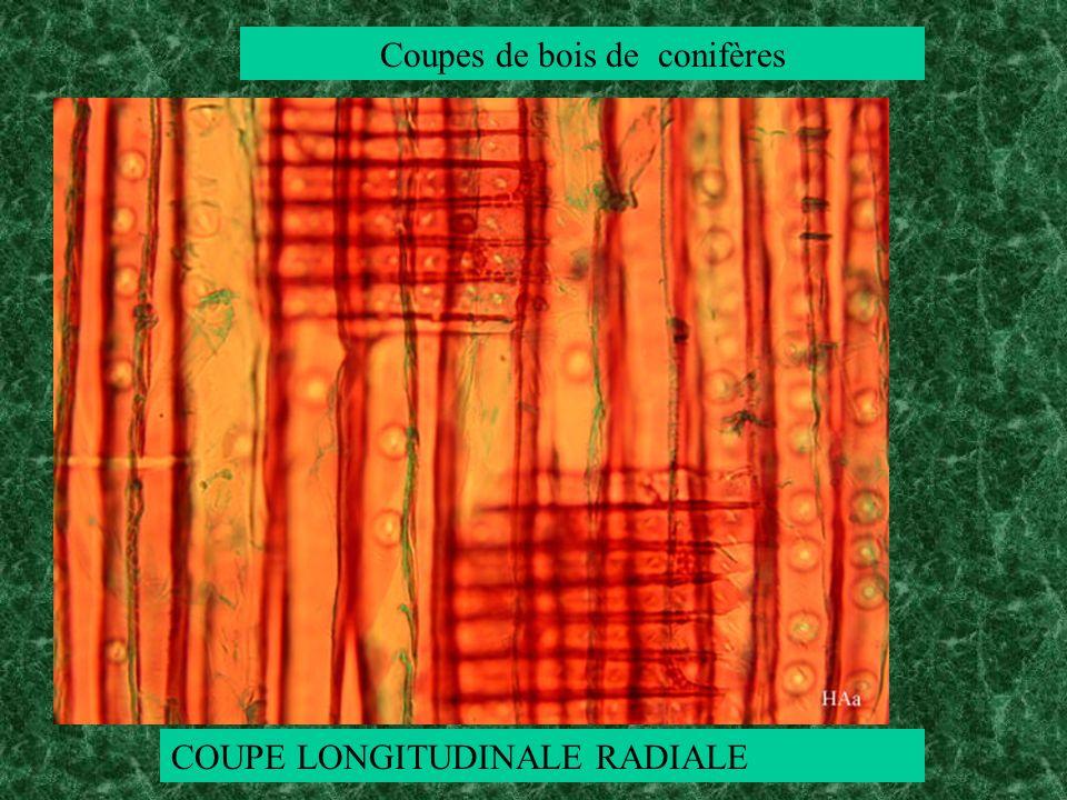 Coupes de bois de conifères COUPE LONGITUDINALE RADIALE
