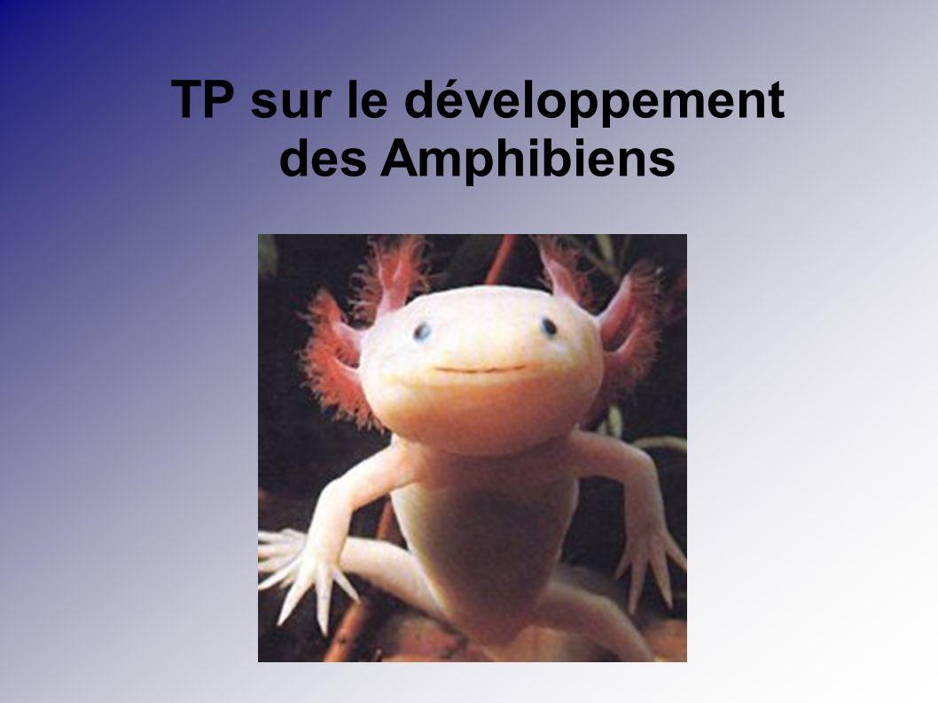 TP sur le développement des Amphibiens