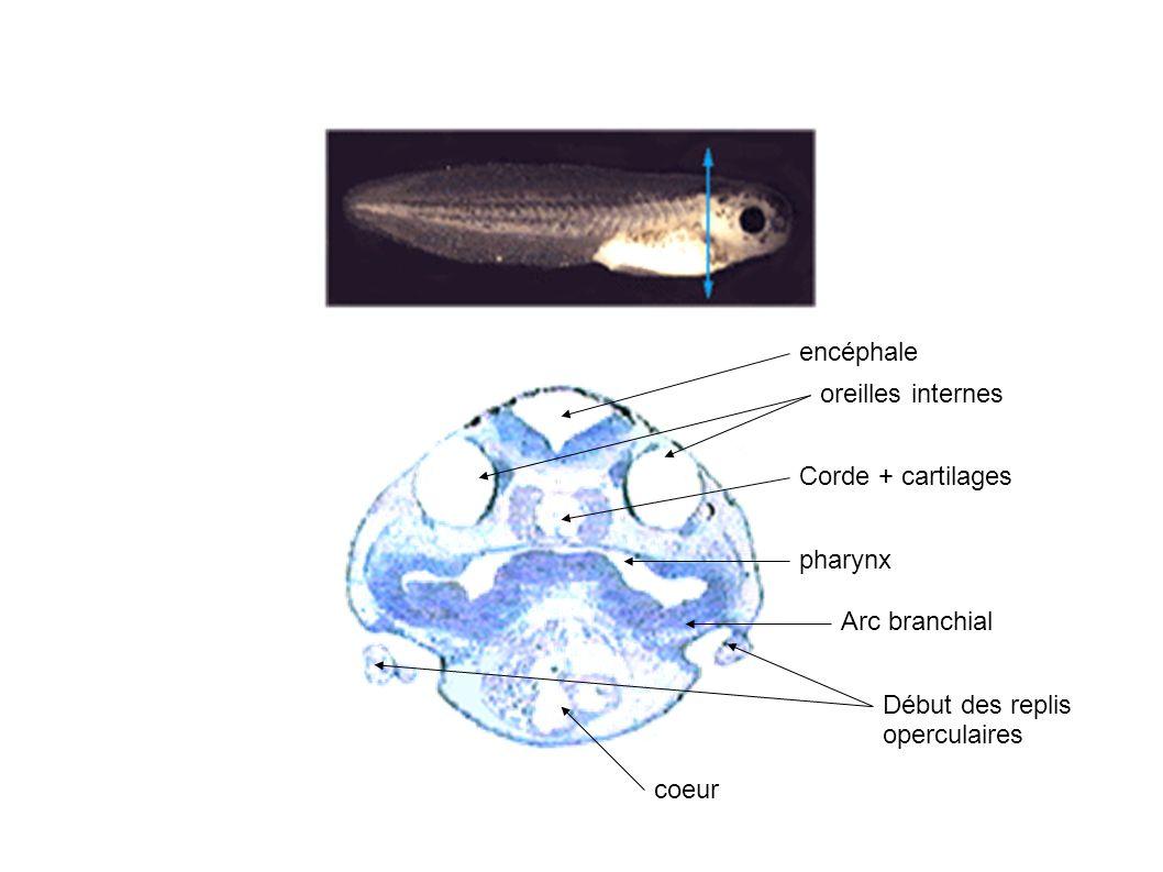 encéphale Corde + cartilages pharynx Début des replis operculaires coeur oreilles internes Arc branchial