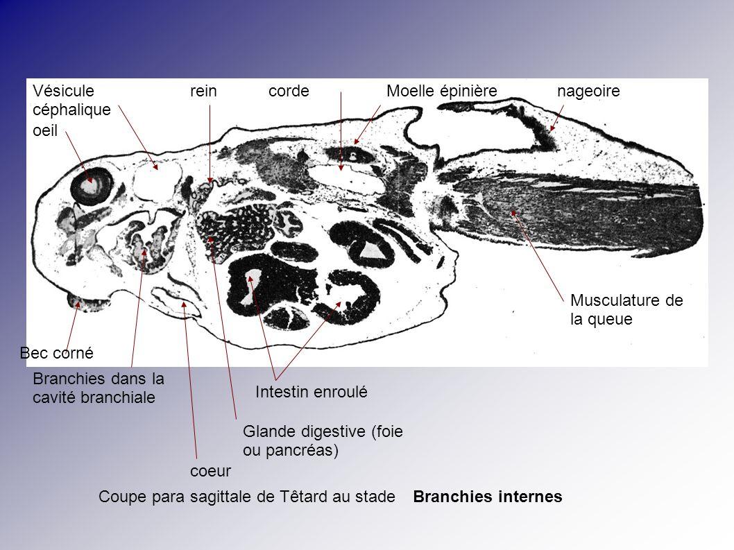 Coupe para sagittale de Têtard au stade oeil Vésicule céphalique Bec corné Branchies dans la cavité branchiale Intestin enroulé Glande digestive (foie