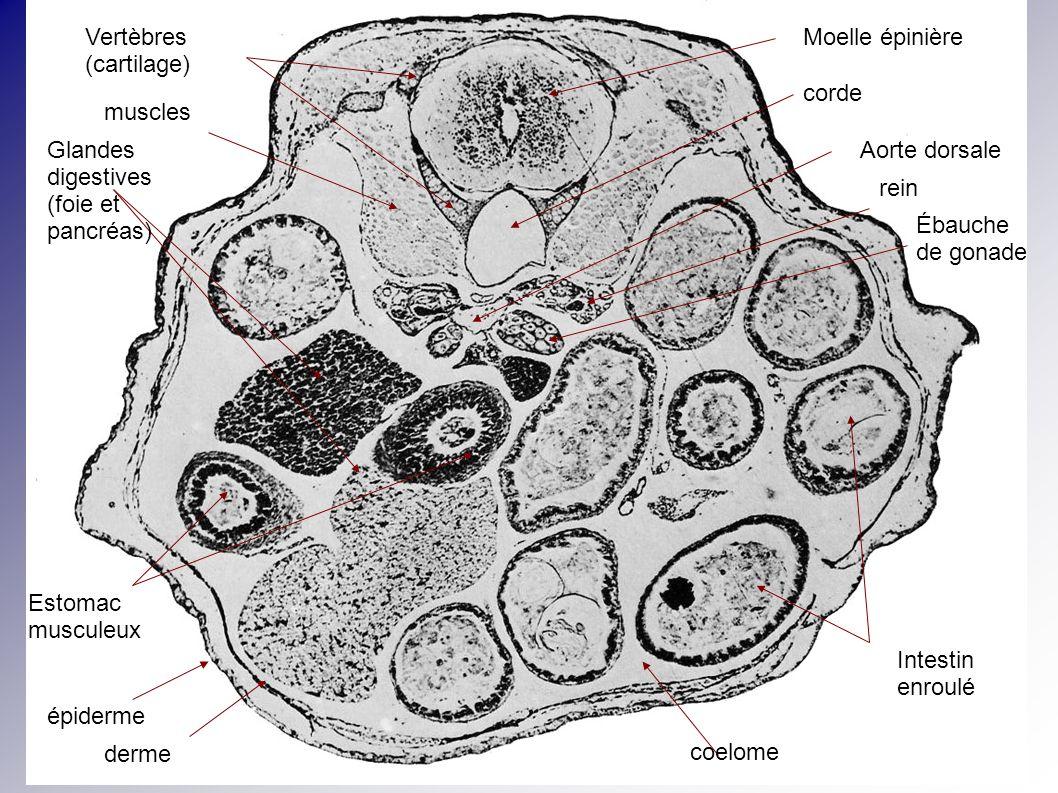 Moelle épinière corde Vertèbres (cartilage) muscles Estomac musculeux Intestin enroulé Glandes digestives (foie et pancréas) Aorte dorsale rein Ébauch