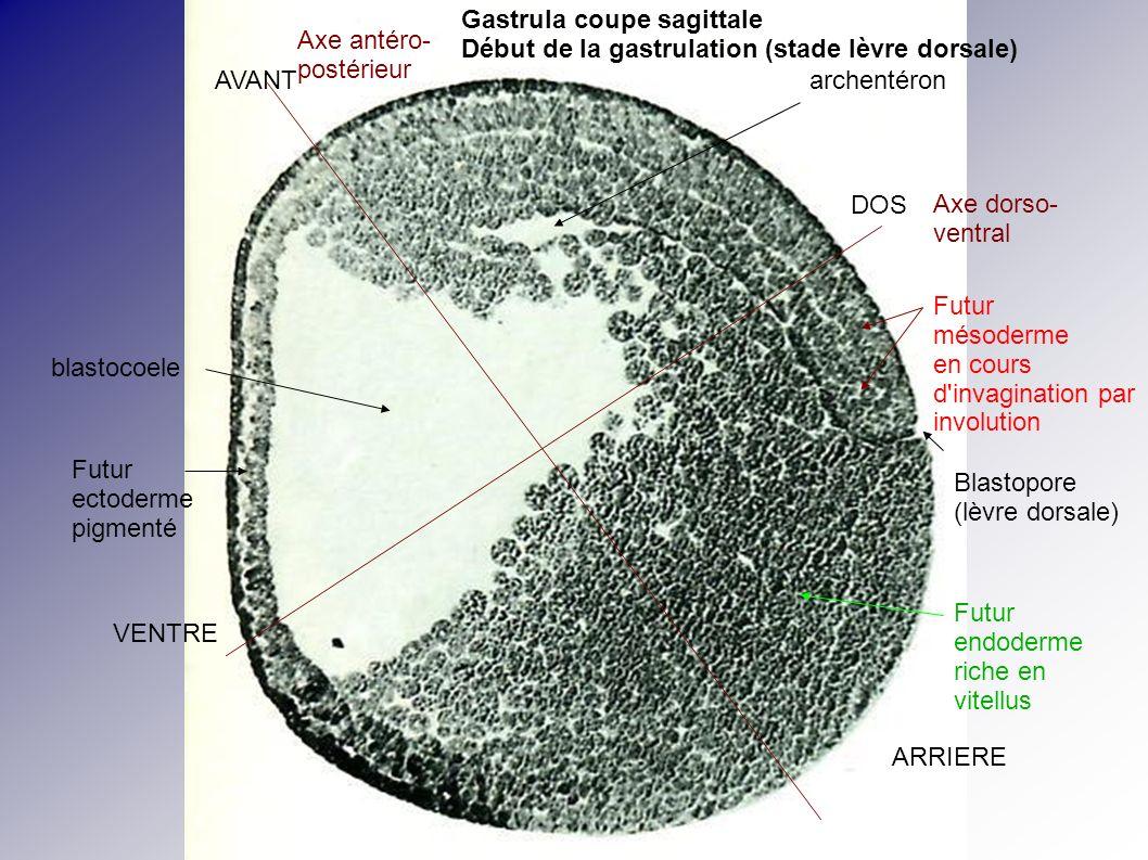 Blastopore (lèvre dorsale) archentéron DOS VENTRE AVANT ARRIERE Axe dorso- ventral Axe antéro- postérieur Futur mésoderme en cours d'invagination par