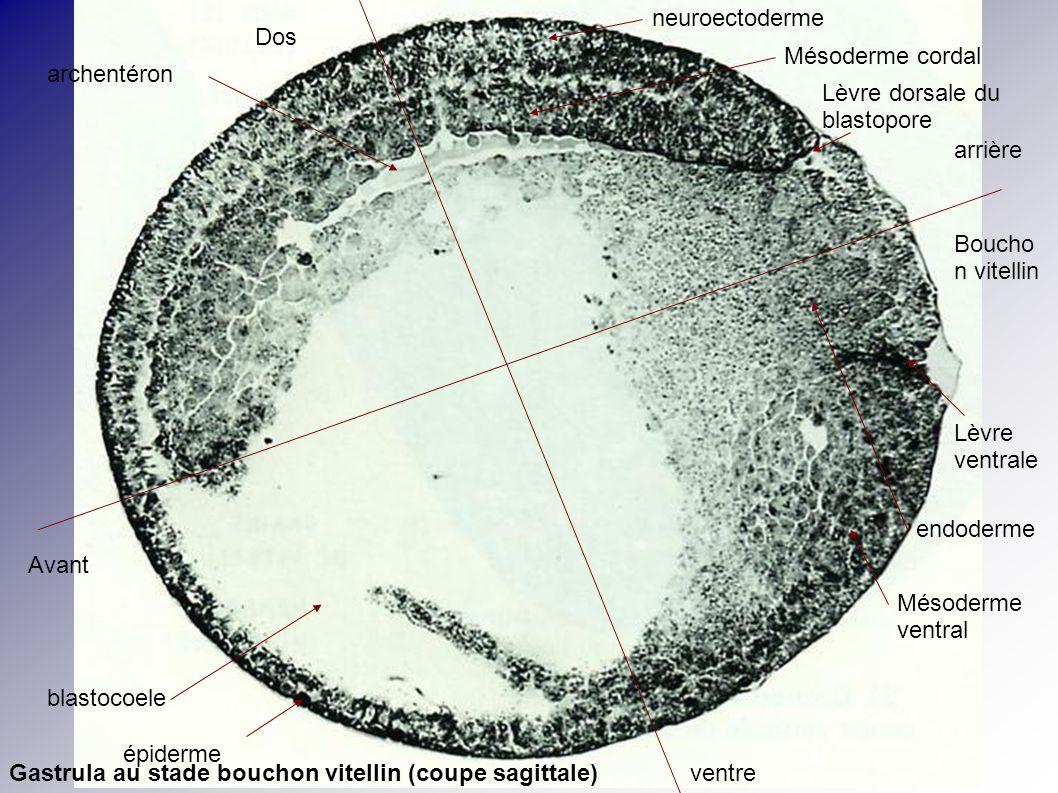 Avant arrière Dos ventre Lèvre dorsale du blastopore Lèvre ventrale Boucho n vitellin blastocoele archentéron neuroectoderme Mésoderme cordal Mésoderm