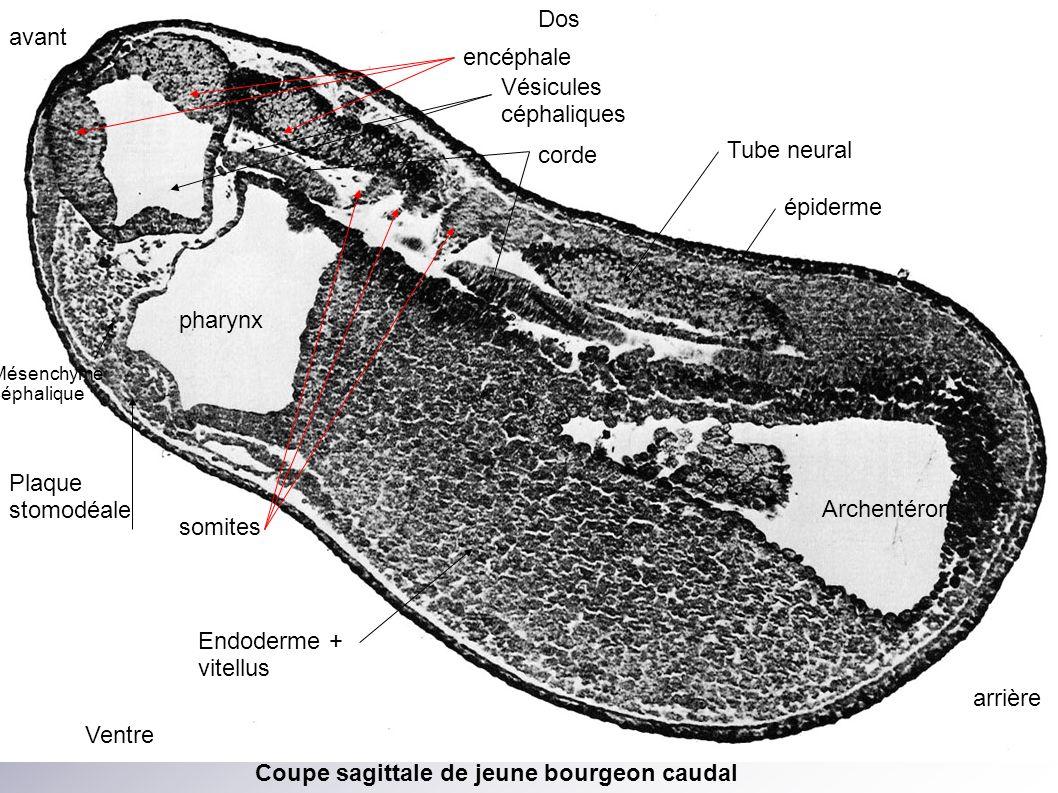 Dos Ventre avant arrière encéphale Vésicules céphaliques pharynx Plaque stomodéale Mésenchyme céphalique Archentéron Endoderme + vitellus Tube neural