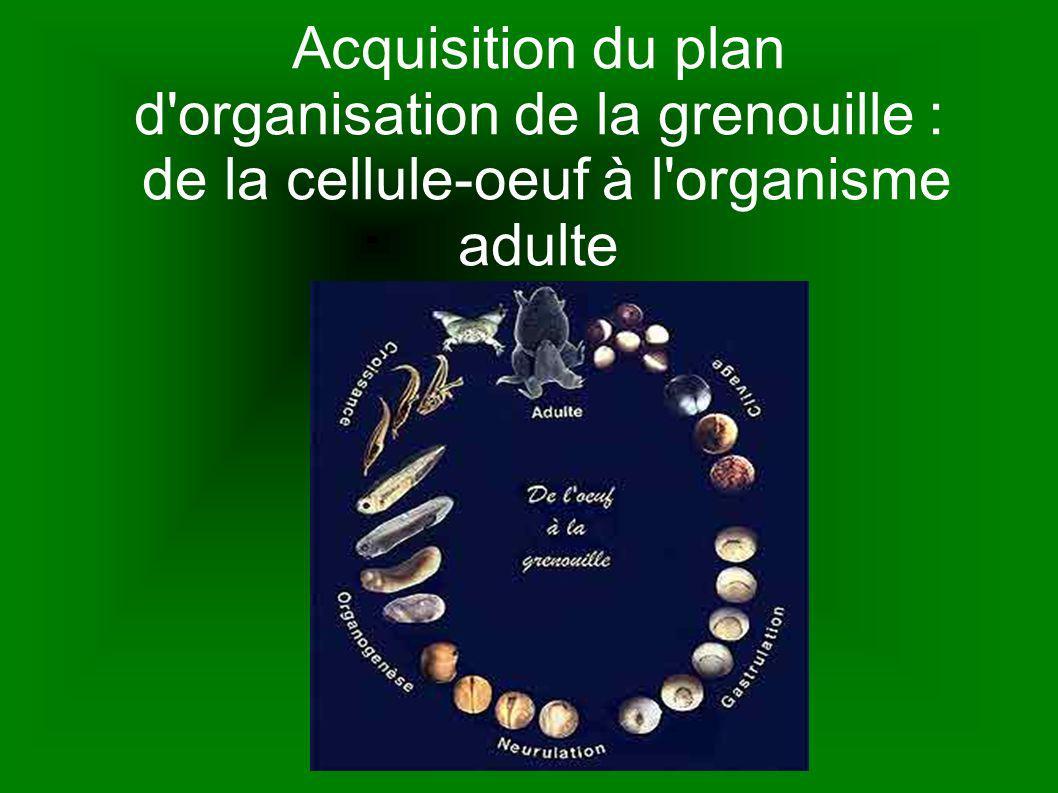 Acquisition du plan d'organisation de la grenouille : de la cellule-oeuf à l'organisme adulte