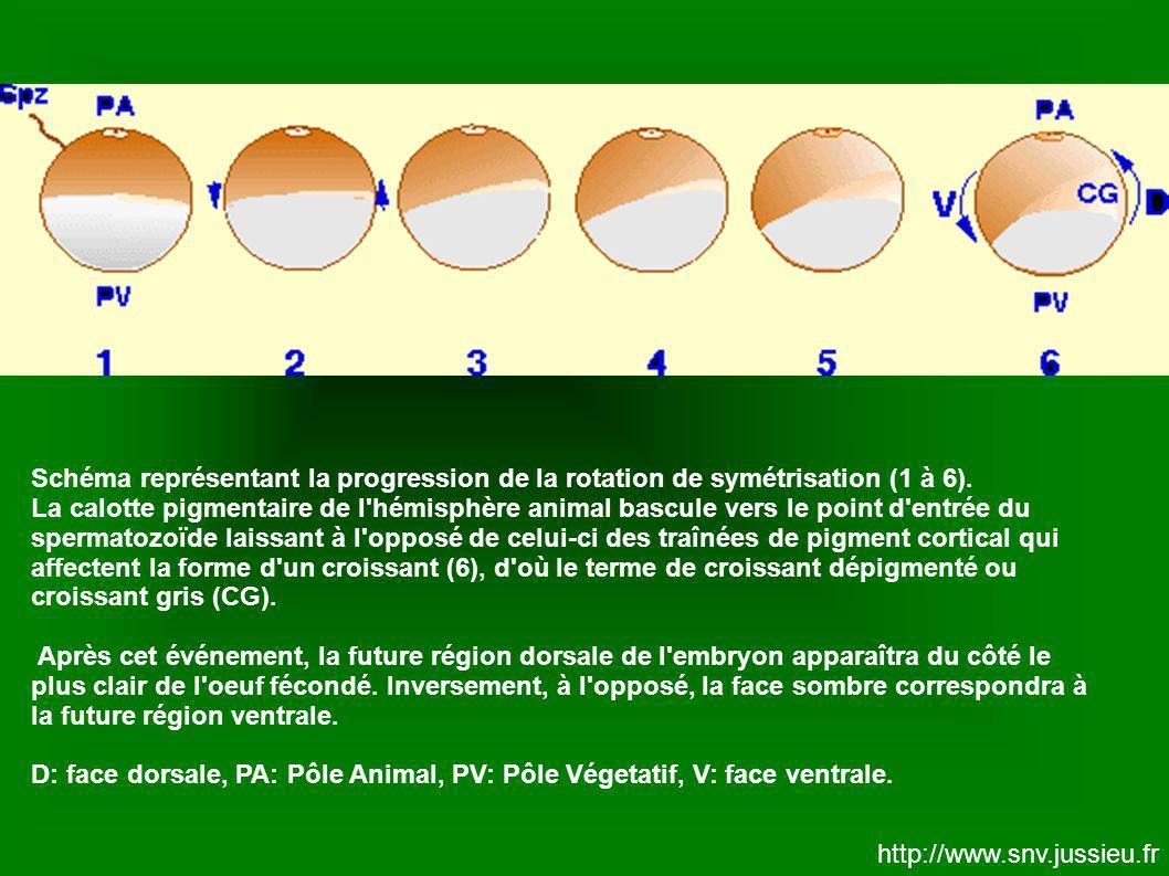 Schéma représentant la progression de la rotation de symétrisation (1 à 6). La calotte pigmentaire de l'hémisphère animal bascule vers le point d'entr