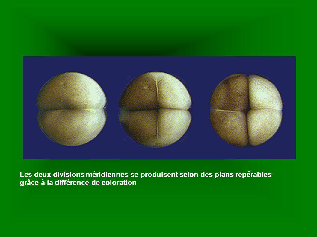 Les deux divisions méridiennes se produisent selon des plans repérables grâce à la différence de coloration