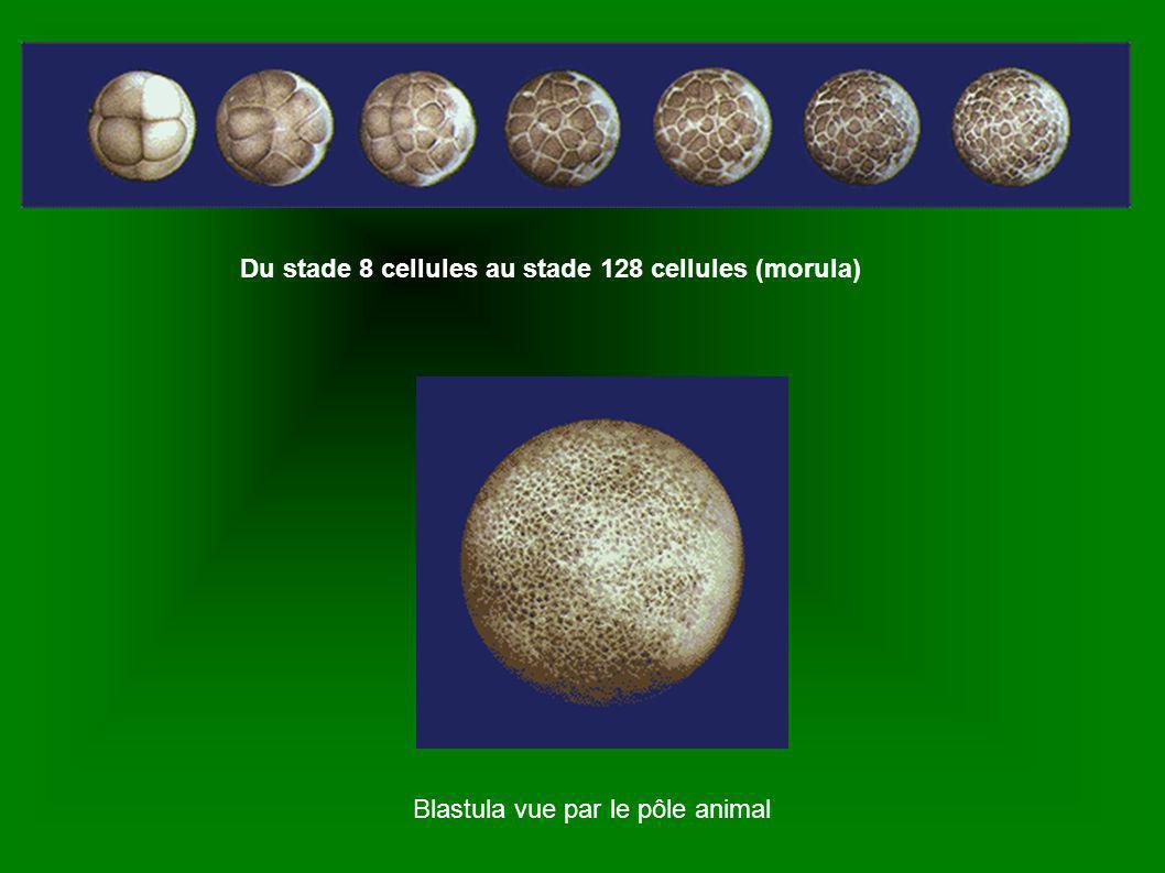 Embryons au stade Morula (petite mure)