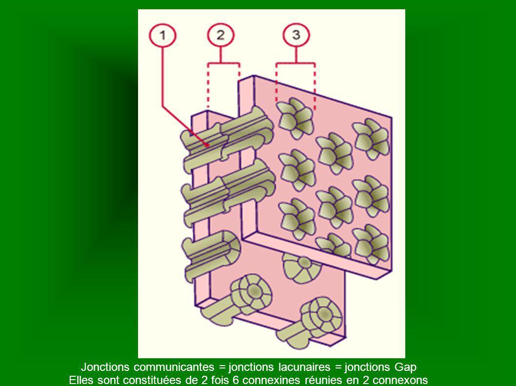 Jonctions communicantes = jonctions lacunaires = jonctions Gap Elles sont constituées de 2 fois 6 connexines réunies en 2 connexons