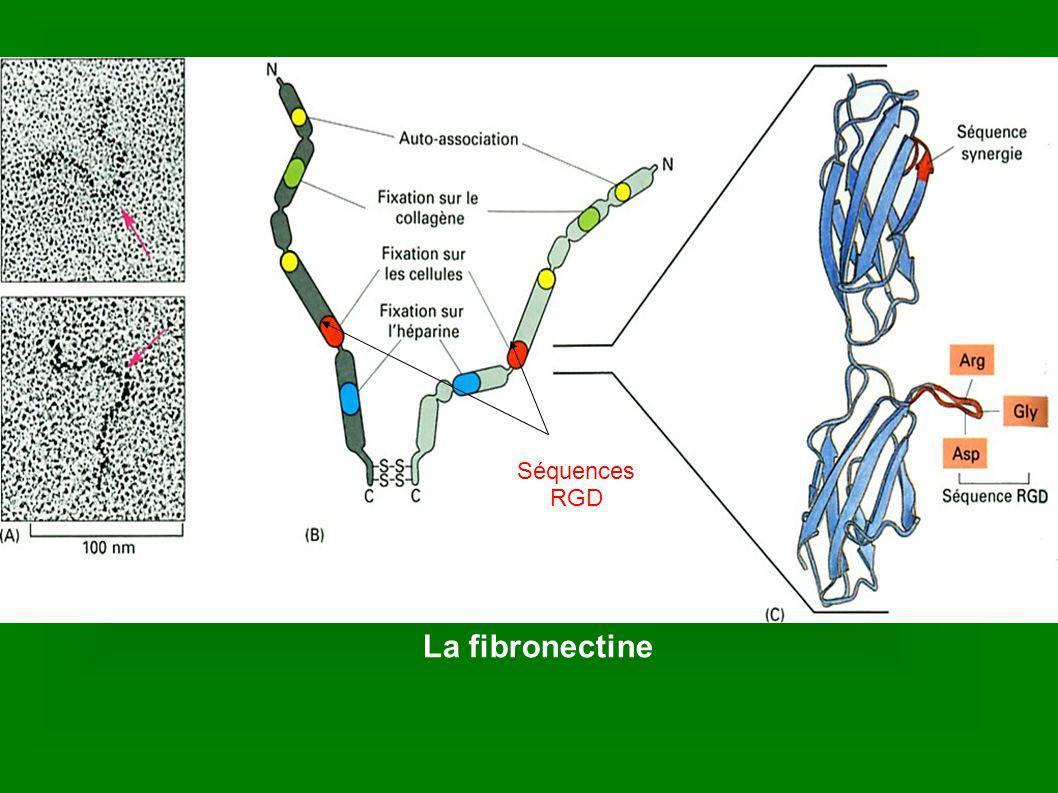 La laminine Domaines de liaison au collagèneDomaine de liaison au collagène domaines de liaison au collagène Domaine de liaison à l intégrine (RGD)