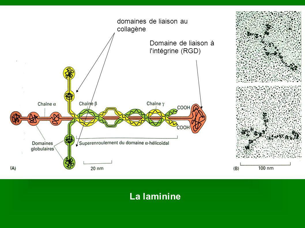 La laminine Domaines de liaison au collagèneDomaine de liaison au collagène domaines de liaison au collagène Domaine de liaison à l'intégrine (RGD)