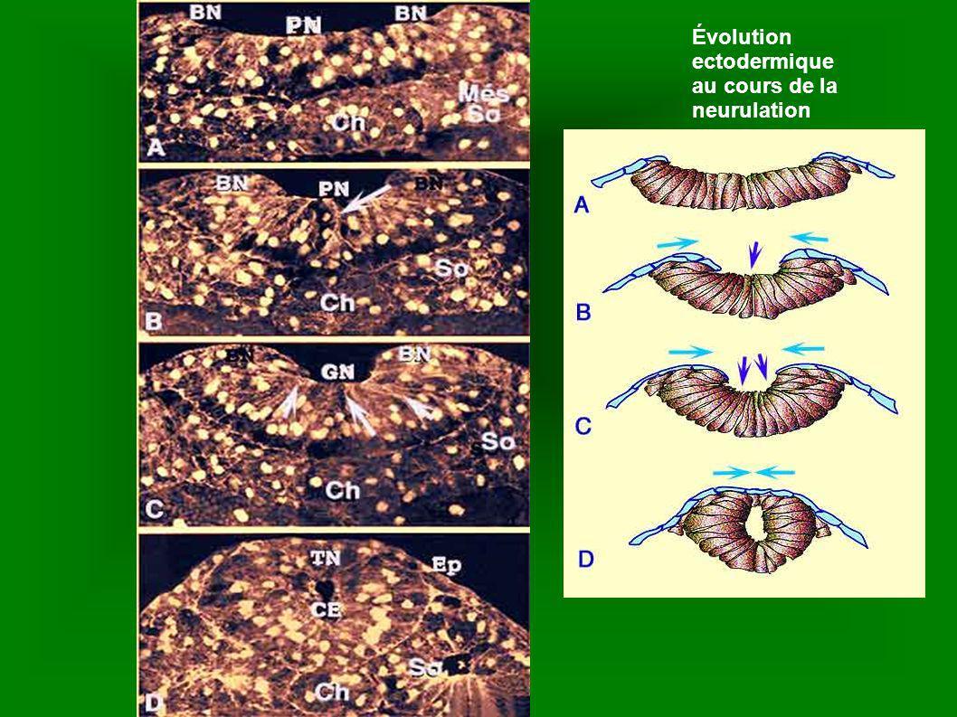 La migration des cellules de la crête neurale le long de voies tapissées par la matrice extracellulaire.