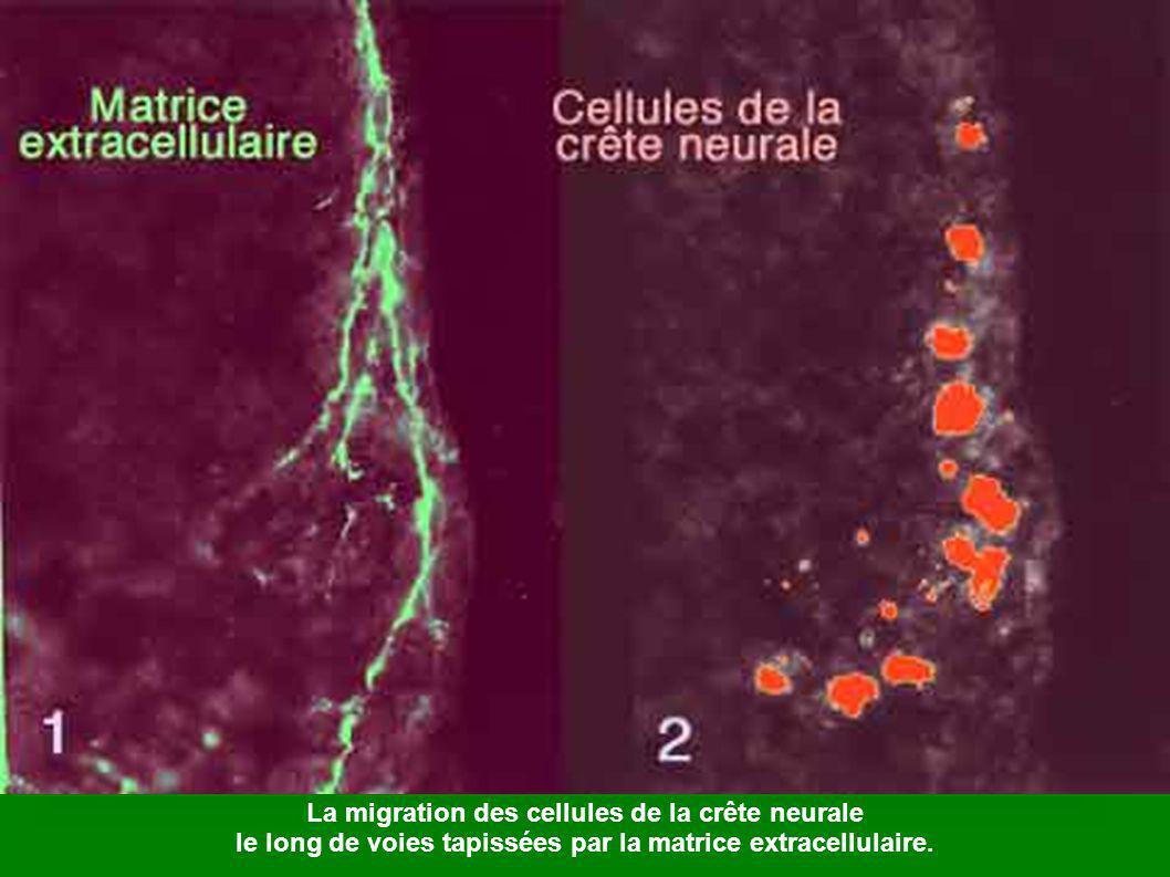 Stade du bourgeon caudal Ant: région antérieure, BC: bourgeon caudal, Br: bourgeon branchial, C:ébauche cardiaque, CAnt: cerveau antérieur, CM: cerveau moyen, Cpost : cerveau postérieur, En: endoderme, ME: moëlle épinière, OA: organe adhésif, Post : région postérieure, Pr : proctodeum, St : dépression stomodéale, VN : voile natatoire, VO : vésicule optique.