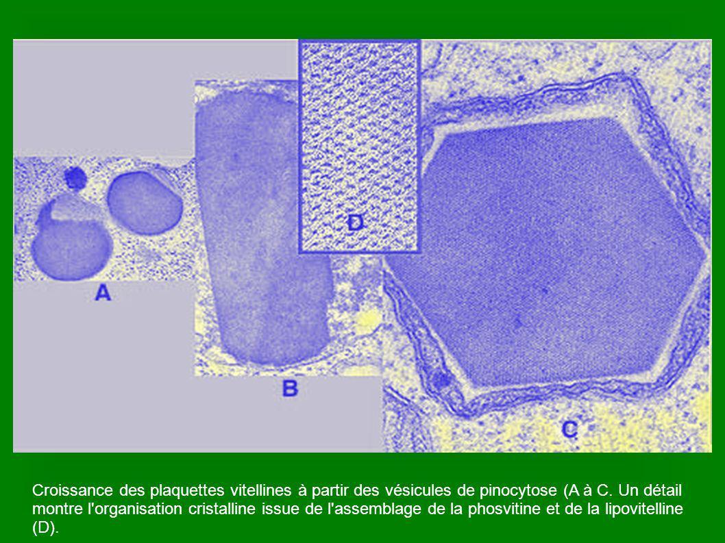 Chromosomes en métaphase II sous la tache de maturation.