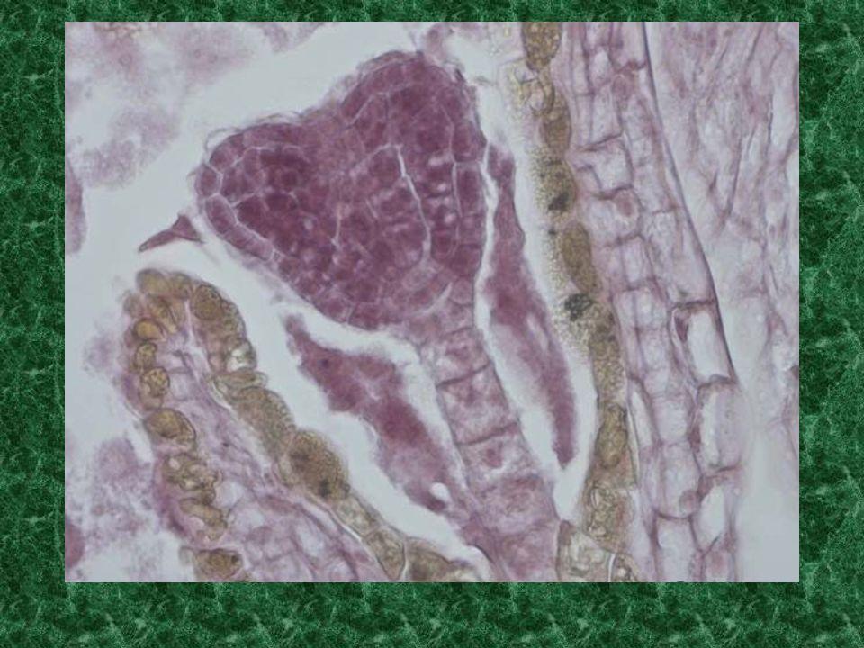 Embryon Cordiforme