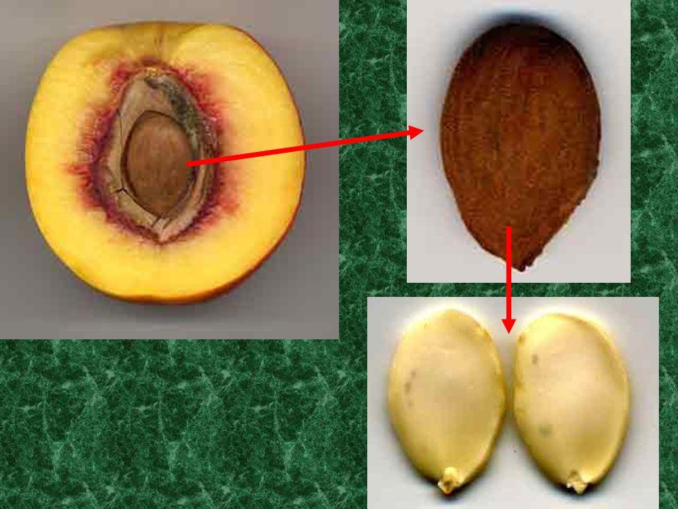 (Ecrire en rouge) jeune âgée Génération gamétophytique (réduite) MEIOSPORES (n) SIPHONOGAMIE (3n) (2n)