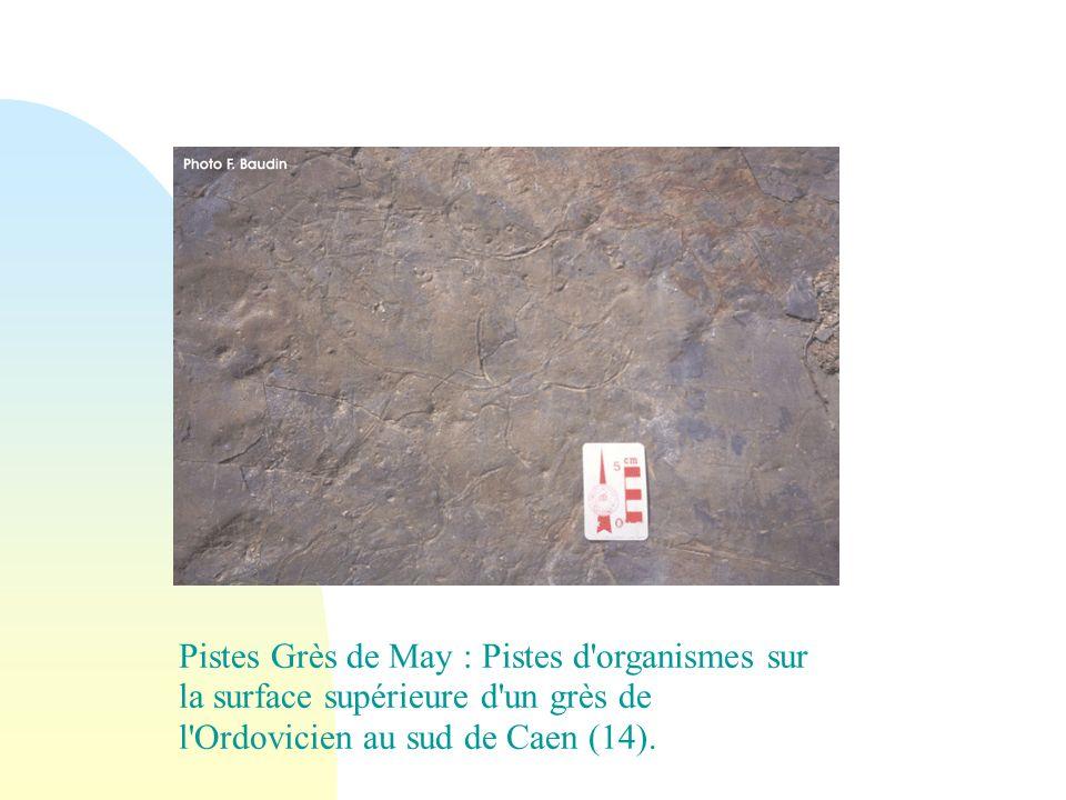 Pistes Grès de May : Pistes d'organismes sur la surface supérieure d'un grès de l'Ordovicien au sud de Caen (14).
