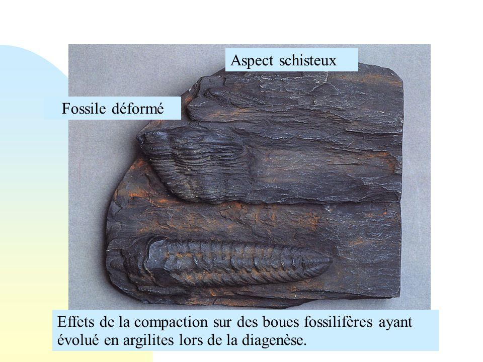 Effets de la compaction sur des boues fossilifères ayant évolué en argilites lors de la diagenèse. Fossile déformé Aspect schisteux