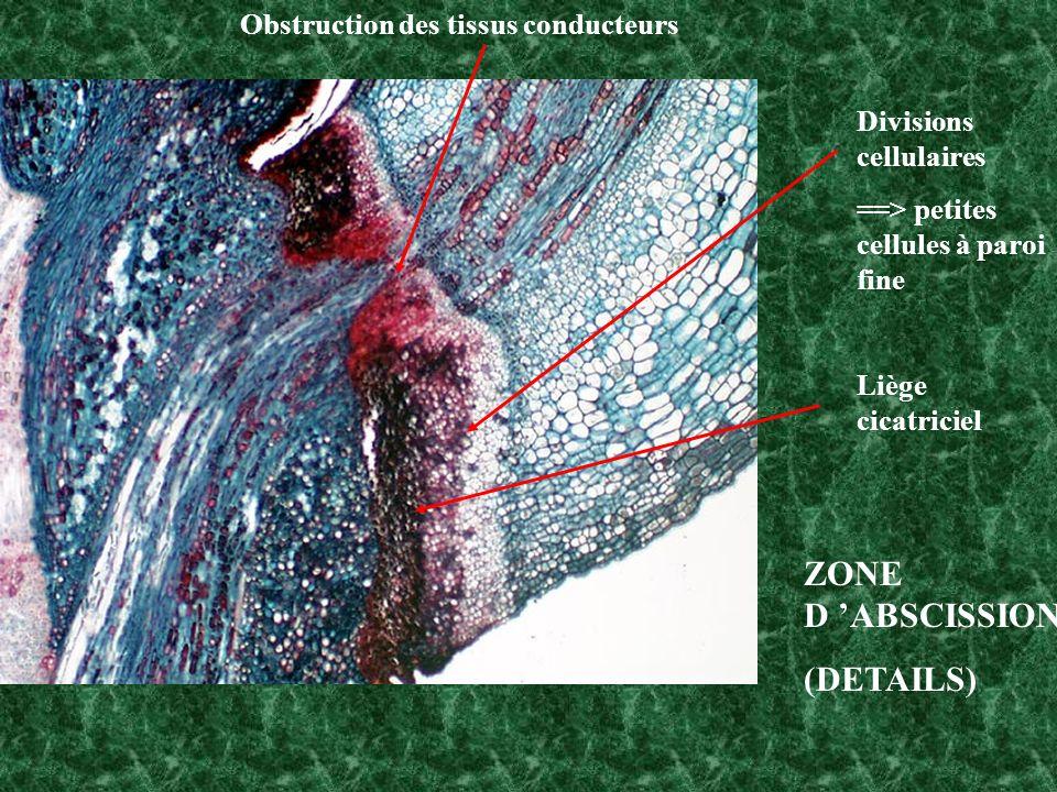 Divisions cellulaires ==> petites cellules à paroi fine Liège cicatriciel Obstruction des tissus conducteurs ZONE D ABSCISSION (DETAILS)