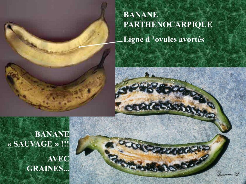 BANANE « SAUVAGE » !!! AVEC GRAINES... BANANE PARTHENOCARPIQUE Ligne d ovules avortés