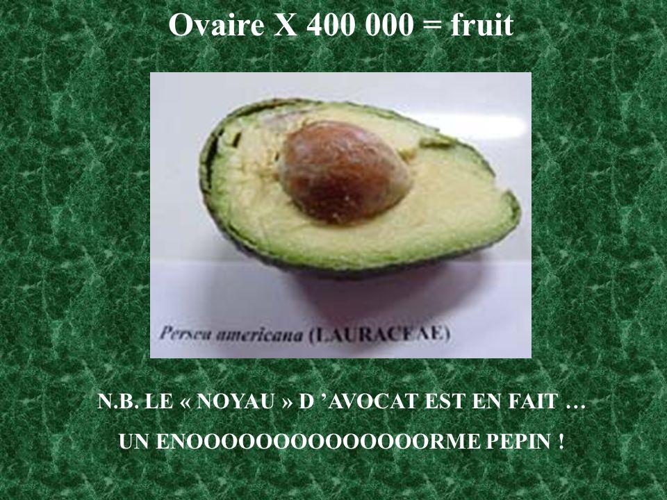 N.B. LE « NOYAU » D AVOCAT EST EN FAIT … UN ENOOOOOOOOOOOOOORME PEPIN ! Ovaire X 400 000 = fruit