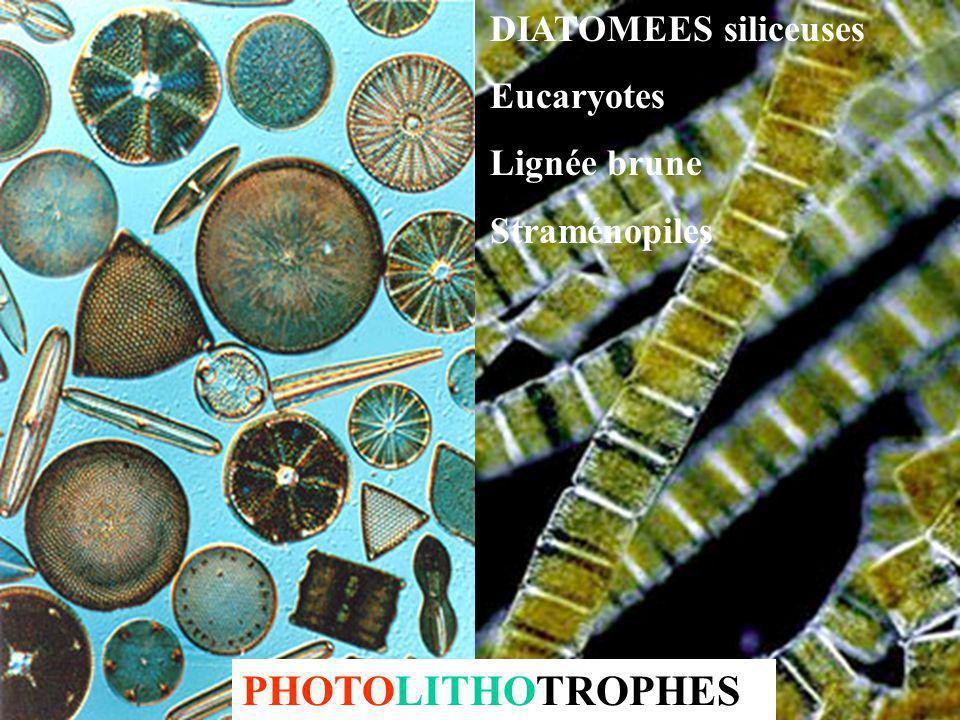COCCOLITHOPHORIDES carbonatées Eucaryotes, Lignée brune, Haptophytes PHOTOLITHOTROPHES