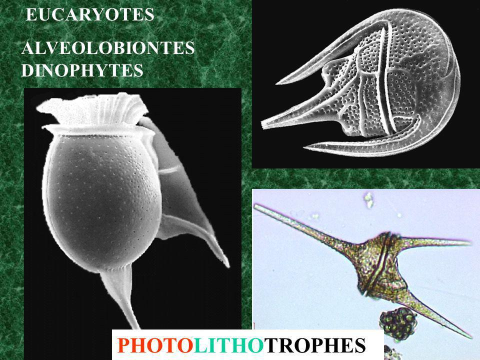 Divers types trophiques de Rhodospirillum rubrum (EUBACTERIE)