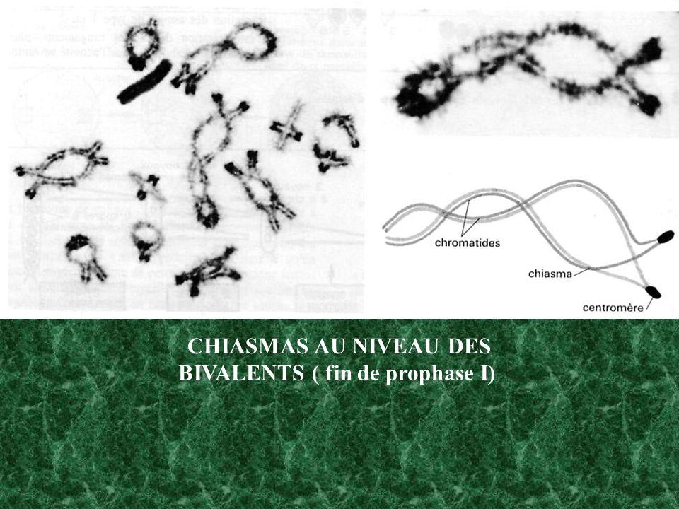 CHIASMAS AU NIVEAU DES BIVALENTS ( fin de prophase I)