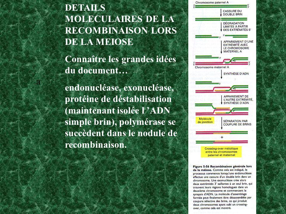 a DETAILS MOLECULAIRES DE LA RECOMBINAISON LORS DE LA MEIOSE Connaître les grandes idées du document… endonucléase, exonucléase, protéine de déstabilisation (maintenant isolée l ADN simple brin), polymérase se succèdent dans le nodule de recombinaison.