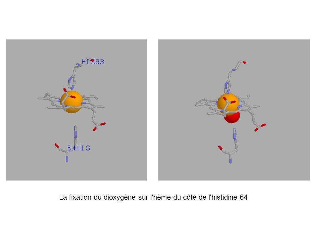 La fixation du dioxygène sur l'hème du côté de l'histidine 64